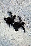 Green sea turtle hatchlings, Galapagos Islands, Ecuador