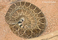 0516-1102  Western Diamondback Rattlesnake, Texas Diamond-back, Crotalus atrox  © David Kuhn/Dwight Kuhn Photography