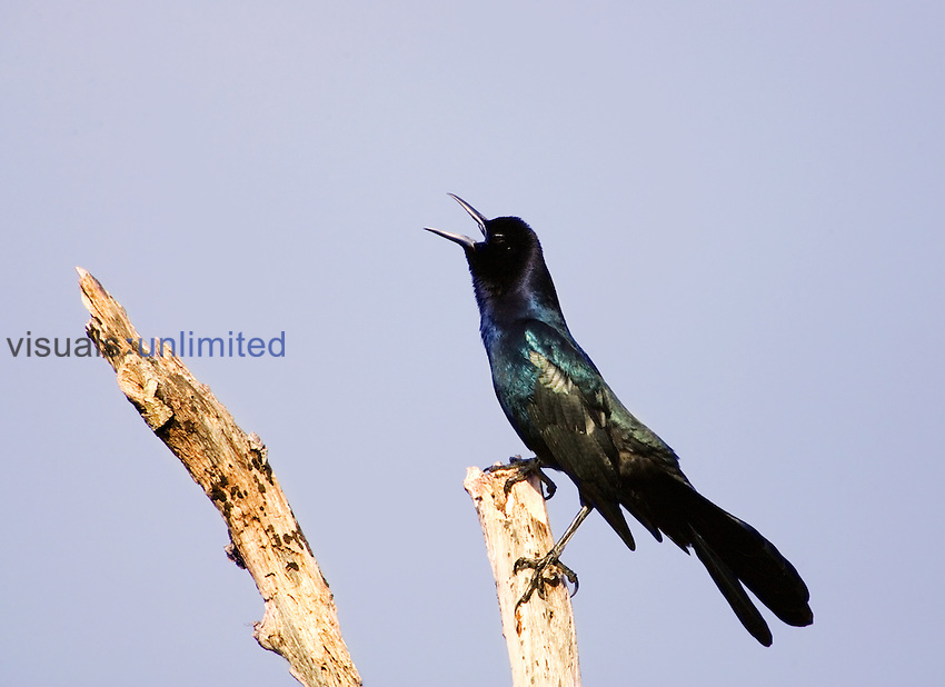 Boat-tailed Grackle ,Quiscalus major,.