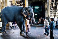 Elephant blessing people, Sri Meenakshi Temple (This Hindu temple is dedicated to Shiva and his consort Parvati), Madurai, Tamil Nadu, India