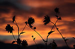 Garden sunset in Gardnerville, Nev., on Monday Aug. 13, 2012..Photo by Cathleen Allison