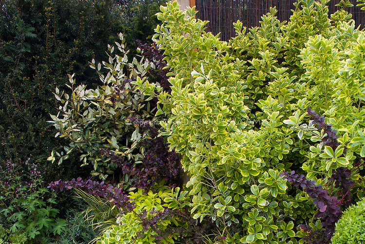 Euonymus japonicus Ovatus Aureus variegated shrub and Berberis thunbergii barberry -  mix of shrub types in garden border, design by Geoff Whiten