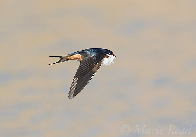 Barn Swallow (Hirundo rustica) adult carrying a feather in flight over water, Bear River Migratory Bird Refuge, Utah, USA. Barn Swallows use feathers to line their nests.