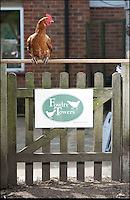 BNPS.co.uk (01202 558833)<br /> Pic: PhilYeomans/BNPS<br /> <br /> Fowlty Towers - Egg-ceptional new hotel for hens.<br /> <br /> The boom in hen keeping across Britain has led a canny Kent lady to spotting a gap in the market for a deluxe hotel for punters beloved poultry whilst they jet off on their summer hols. <br /> <br /> Julie Smith from Cowden is inundated with requests for 'rooms' at 'Fowlty Towers', with customers booking months in advance to secure a spot for their prized birds. <br /> <br /> Julie's all-inclusive resort costs a poultry &pound;7 a night for each run, with round the cluck service including all food and drink.