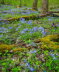 Great Smoky Mountains National Park, Tennessee: Wild blue phlox (Phlox divaricata) and yellow trillium (Trillium luteum) blooming under a forest understory