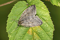 November Moth Epirrita dilutata Wingspan 20mm. A classic autumn moth that is often attracted outside house lights and found resting on nearby walls. Its rounded wings are spread flat at rest. Almost impossible to separate from Pale November Moth E. chrystyi. Adult has marbled grey and brown wings, with concentric, jagged cross lines. Some individuals have a central dark spot within central band. Flies October-November. Larva feeds on a variety of shrubs and trees. Widespread and common.