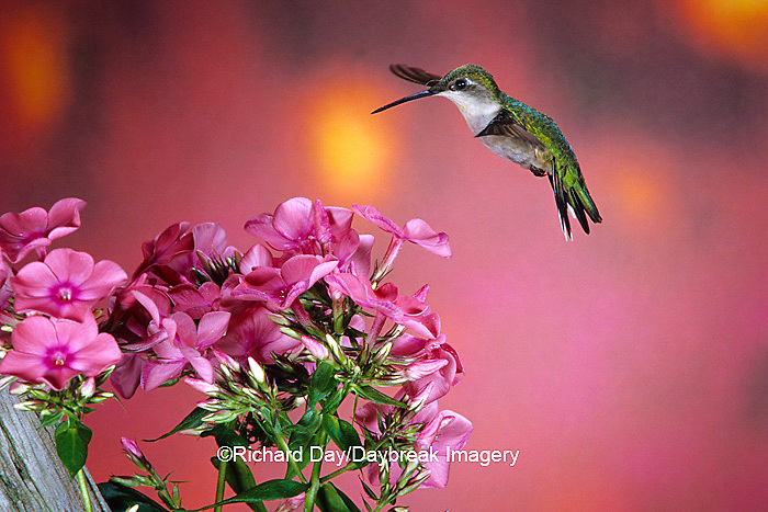 01162-061.16 Ruby-throated Hummingbird (Archilochus colubris) female at Garden Phlox (Phlox paniculata) Shelby Co. IL