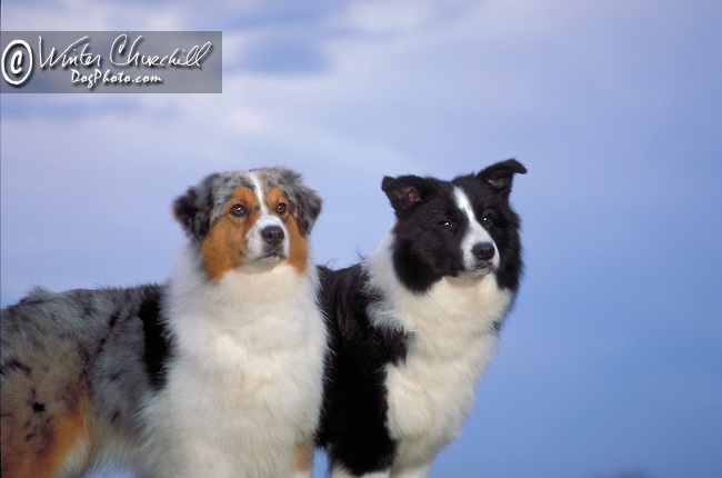 Australian Shepherd with Border Collie<br />