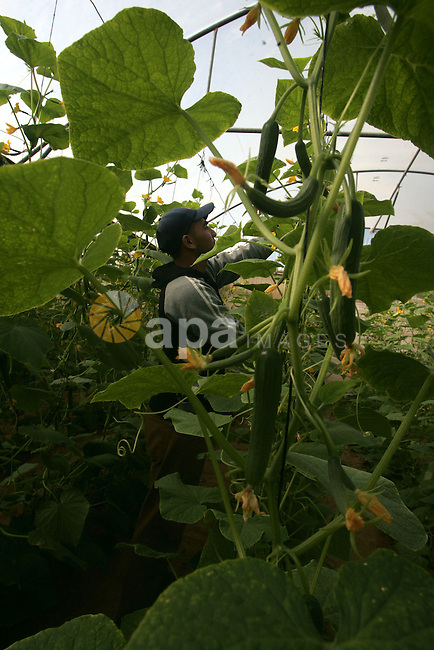 A Palestinian farmer works in the cucumber crop at his Mawasi farm in the southern Gaza Strip town of Khan Younis, Oct. 28,2010. The farmers suffer from the problems of lack of water in the groundwater, causing serious damage to agriculture. Photo by Khaled Khaled