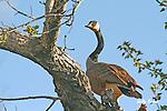 Birds of North America; Canada Goose, branta canadensis