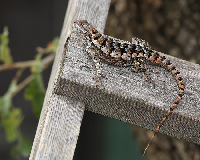 The Texas Spiny Lizard is arboreal and prefers mesquite trees, but may be observed on fences, walls, and poles. It's diurnal & will retreat up a tree when threatened.