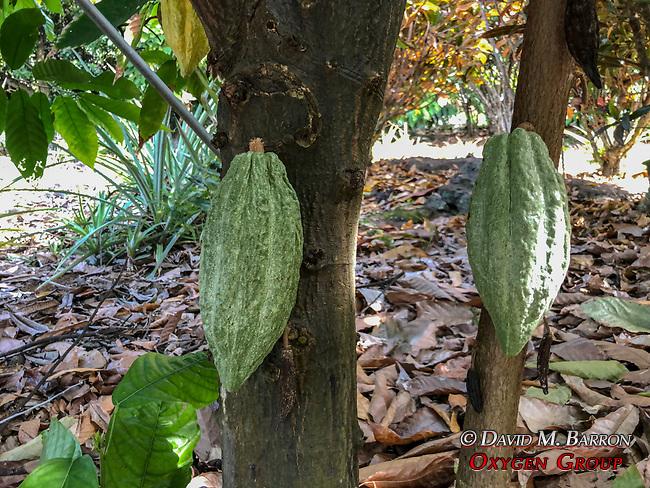 Cacao Plant, Original Hawaiian Chocolate Company
