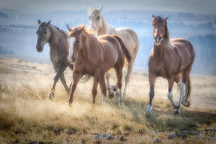 Four horses walking across a high plateau, morning, Big Horn Mountains, backlit
