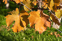 Autumn colours in the vineyard in late afternoon evening sunshine, red, brown, yellow leaves, detail Domaine Vignoble des Verdots Conne de Labarde Bergerac Dordogne France
