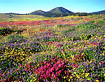 USA, California, San Diego. Cuyamaca Rancho State Park.  Wildflowers near Cuyamaca Lake.  Credit as: Christopher Talbot Frank