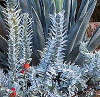 Eucalyptus macrocarpa, silver gray foliage in California summer-dry garden with Agave americana; design Jo O'Connell