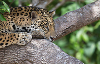 We saw lots of interesting jaguar behavior during this trip, including tree-climbing (a rare sight in the Pantanal), hunting, socializing with other cats and even swimming.