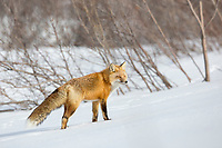 Fox on snowy tundra in Alaska's Arctic.