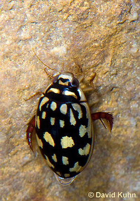 0405-1102  Sunburst Diving Beetle, Diving Beetle Swimming Underwater, Arizona, Thermonectus marmoratus  © David Kuhn/Dwight Kuhn Photography
