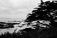 Cypress Tree, Point Lobos 2018, Film