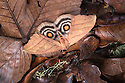 Saturniid Moth (Saturniidae) Saturniid Moth (Saturniidae) with wings open to reveal eyespots, a means of deterring predators.
