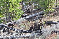 Four Grizzly Bear Cubs  and grizzly  sow in Yellowstone National Park