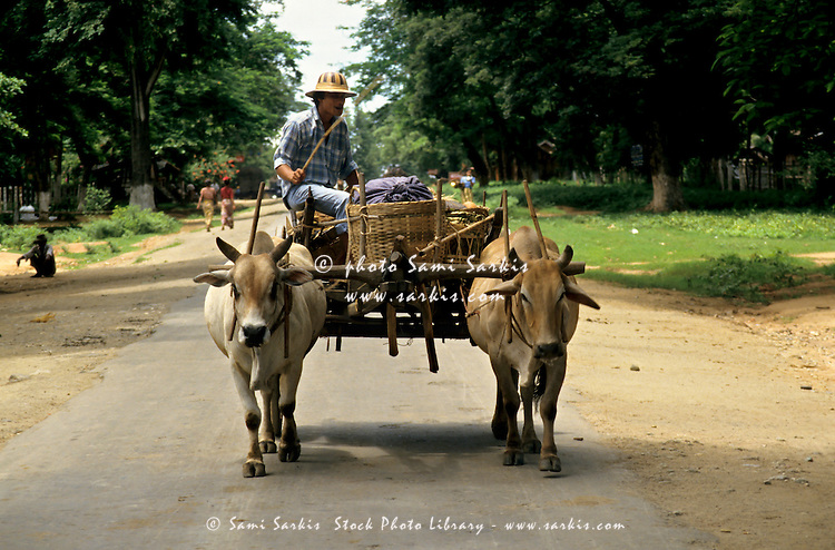 Man riding a cart pulled by oxen, Thazi village, Burma.