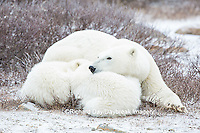 01874-13703 Polar Bears (Ursus maritimus) female with 2 cubs sleeping, Churchill, MB Canada
