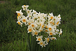 Golan Heights, Narcissus-Daffodil flowers in Nov Nature Reserve