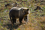 Grizzly Bear, in grass field, Yellowstone National Park, Wyoming