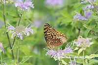 03322-01814 Great Spangled Fritillary (Speyeria cybele) on Wild Bergamot (Monarda fistulosa) Marion Co. IL