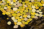 Fallen yellow aspen leaves floating in a creek in the Abajo Mountains near Monticello, Utah, USA.