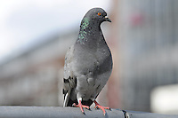 Pigeon closeup on blurred background