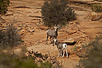 Big Horn sheep in Zion National Park in Southwestern Utah.