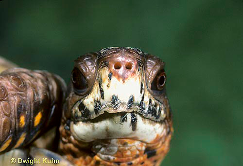 1R43-024x  Eastern Box Turtle - close-up of head - Terrapene carolina