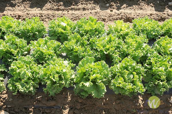 Field of vegetables. Nippenose Valley. Iceburg lettuce