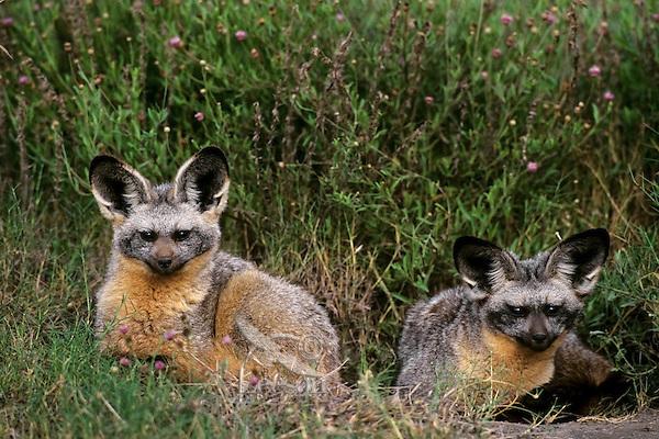 Bat-eared foxes (Otocyon megalotis) Serengeti National Park, Tanzania.