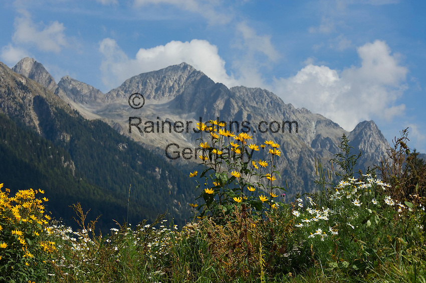 Italy, South Tyrol, Valle di Anterselva, flower meadow and Vedrette di Ries mountains