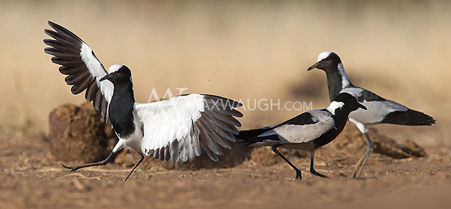 The blacksmith lapwing was formerly known as the blacksmith plover.
