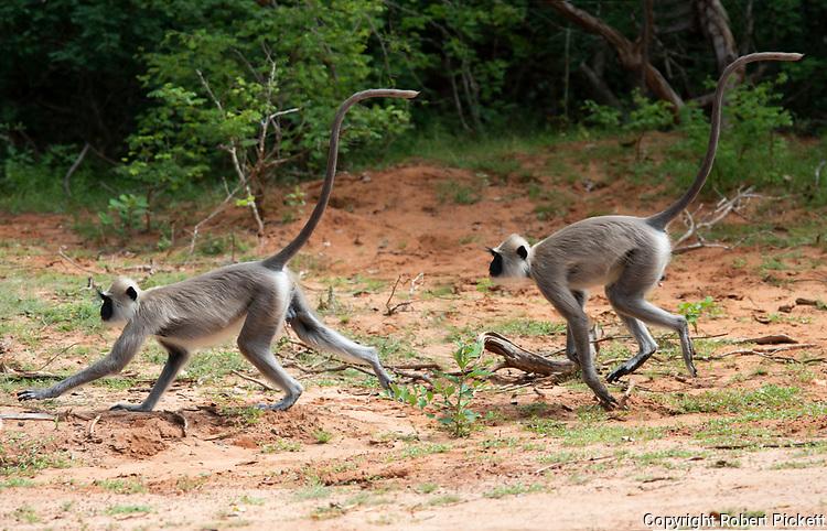 Tufted Gray Langur, Semnopithecus priam, pair running along with tail up, Yala National Park, Sri Lanka