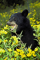 Young American black bear, Ursus americanus,  eating flowers and playing , taking life a bit less seriously than mom