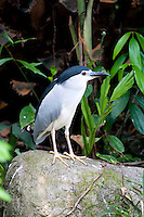 Black-crowned Night-Heron (Nycticorax nycticorax), commonly abbreviated to just night heron in Eurasia, is a medium-sized heron found throughout a large part of the world, except in the coldest regions and Australasia (where it is replaced by the closely related rufous night heron, with which it has hybridized in the area of contact). Bundala National Park - Sri Lanka.