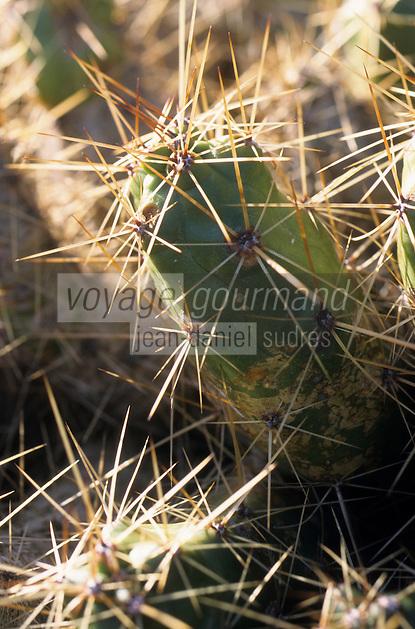 Europe/Espagne/Canaries/Lanzarote/Guatiza : Le jardin de cactus conçu par Cesar Manrique - Echinocereus tulensis