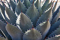 West Texas Agave plant in Alpine