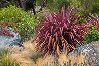 Pink Cordyline 'Electric Pink' among grasses in California garden