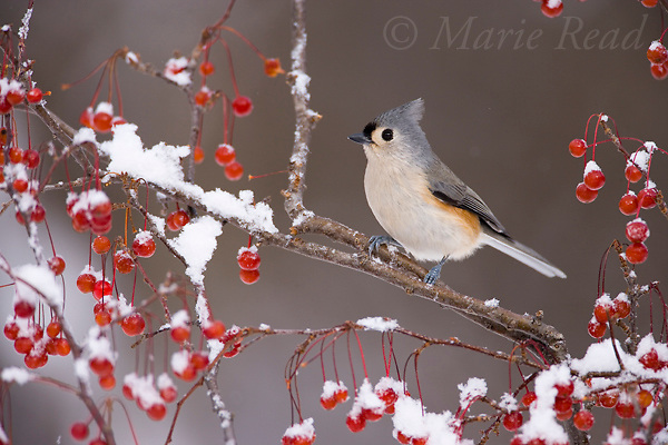 Tufted Titmouse (Baeolophus bicolor) amid snow-covered berries in winter, New York, USA