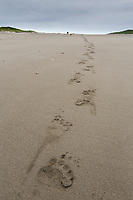 Brown bear tracks in the sandy beach on the Alaska Peninsula coast, Katmai National Park, Alaska.