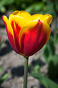 Tulip 'Kees Nelis' (Triumph Group), late April. Also spelled 'Kee's Nellis'. First introduced in 1951.