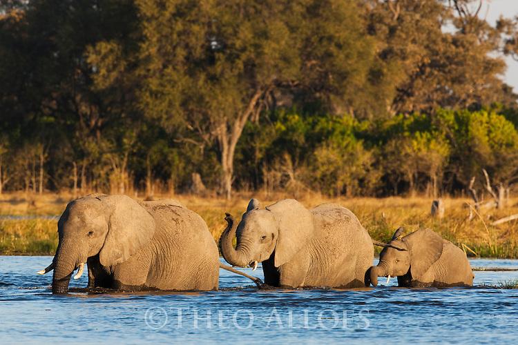 Botswana, Okavango Delta, Moremi Game Reserve,  African elephants (Loxodonta africana) crossing river river