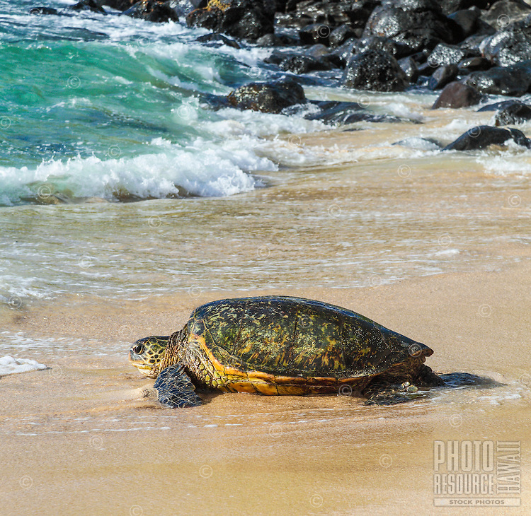 A Hawaiian green sea turtle  at Ho'okipa Beach, East Maui.